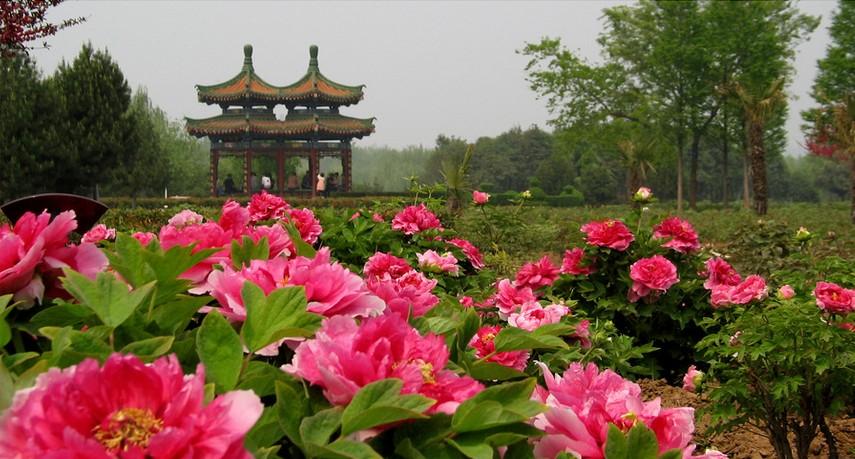 神州牡丹园一日游,郑州到神州牡丹园一日游