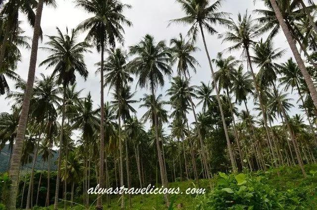 苏梅岛椰子